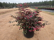 Loropetalum 'Ruby'